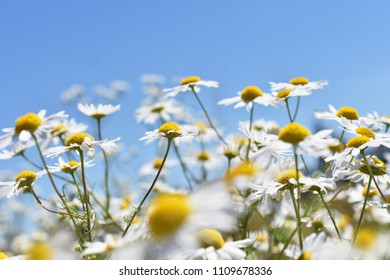 summer meadow full of camomile flowers against blue sky with empty space for text