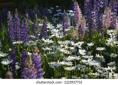 Summer meadow with violet lupine flowers and white daisies. Flowering nature scene.