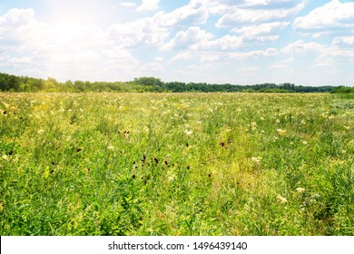 Summer meadow with white flowers. White meadow flower yarrow. In the distance see the forest. Cloudy sky