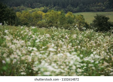 Summer meadow with white wild flowers
