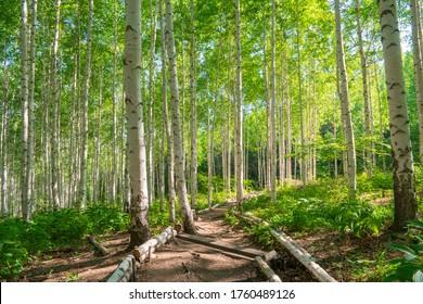 summer morning forest birch tree, south korea