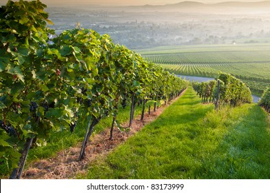 Summer morning in a vineyard of Germany