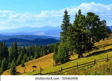 Summer mountain country view with fir forest , wooden fence and cow on slope (Carpathian, Ukraine, Verkhovyna district, Ivano-Frankivsk region).