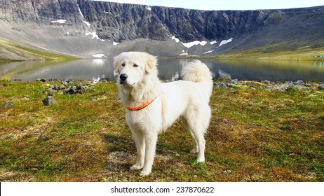 Summer mountain landscape with Pyrenean Mountain Dog.