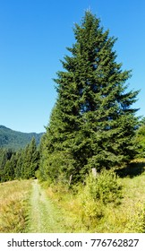 Summer mountain view (Carpathian, Kryvopillja, Ivano-Frankivsk region, Ukraine). Big fir tree near hiking path.