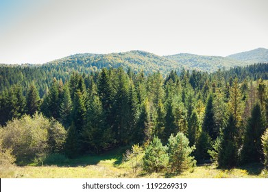 Summer mountains coniferous trees