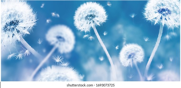 Summer natural floral background. White dandelions and seeds on a blue background. Soft focus. Banner format.