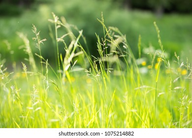 Summer nature background. Green grass in sunlight.