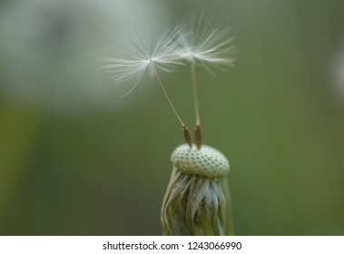 Summer nature. Blowball. Wild dandelion on summer day. Dandelion flower seeds blowing away. Taraxacum flower on nature landscape. Flowering plant. Beauties of nature. Beautiful and natural.