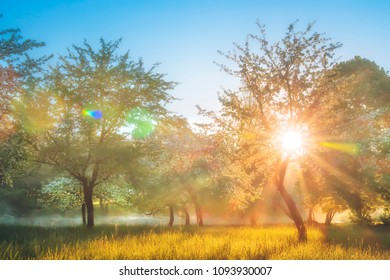 Summer nature landscape in blossoming apple garden. Bright sun backlight through trees in orchard. Warm sunlight glowing on grass in the morning