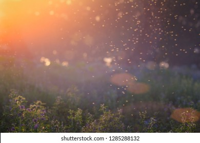 Summer Nature. Landscape of meadow at sunset. Background with bokeh light . Transparent columns of midges over tall grass in front of the sun. Blurred background.