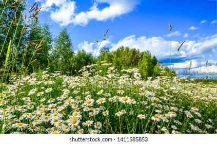 Summer nature meadow flowers view. Summer chamomile field landscape. Chamomile field scene. Summer chamomile meadow flowers