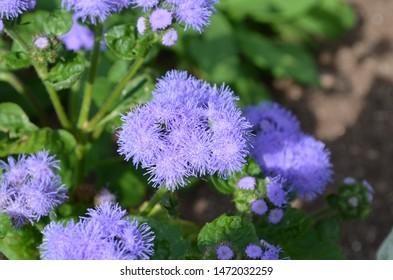 Summer in Nova Scotia: Closeup of Ageratum (Blue Mink) Flowers