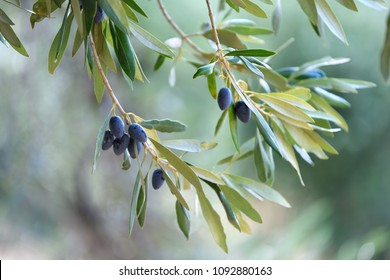 Summer olives background with fresh olive branch and bokeh lights, Greece, Kalamata