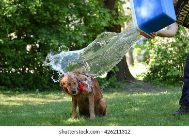 Summer outdoor bathing of golden retriever. Dog's owner pours a bucket of water on golden retriever