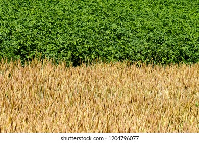 summer outdoor field of green potato and wheat germ, the connection line of the yellow part of the field and the green for the background