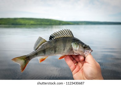 Summer perch fishing in the lake