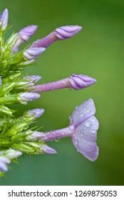 Summer phlox (Phlox paniculata) flower buds and open blossom, after rain.