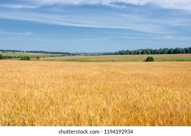 Summer photography. The wheat field, the cereal plant, which is the most important species grown in temperate countries, the grain of which is crushed to make flour for bread, pasta, confectionery