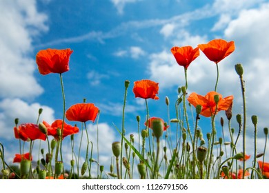Bright spring flowers images stock photos vectors shutterstock summer poppy flowers under blue sky and sunlight mightylinksfo