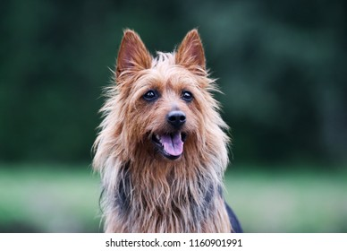 Summer portrait of black and sable tan purebred typical australian terrier. Pedigreed australian terrier dog outside with background of green grass. Smiling attractive doggy portrait with funny ears