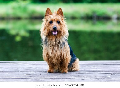 Summer portrait of black and sable tan purebred typical australian terrier. Pedigreed australian terrier dog sitting outside on wooden pier with green background . Smiling attractive doggy portrait