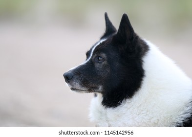 Summer portrait of black and white russian european laika dog on the seaside and sandy beach. Cute obedient laika looking for the owner