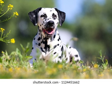 Summer portrait of cute dalmatian dog with black spots. Smiling purebred almatian pets with funny faces lies outdoors in hot sunny summer time with green background and colorful flowers