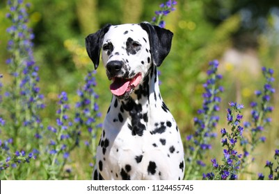 Summer portrait of cute and smiling dalmatian dog with black spots. Nice and beautiful dalmatian family pet sitting outdoors with meadow flowers on hot and sunny summer day