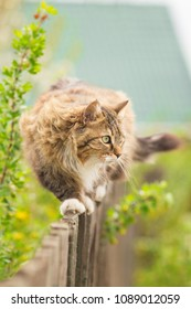 summer portrait of a fluffy cat walking along a wooden fence on a background of nature