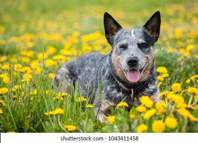 Summer portrait of happy Australian Cattle Dog on dandelions meadow.