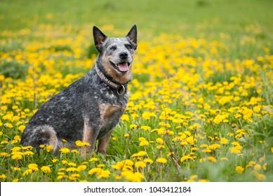 Summer portrait of happy Australian Cattle Dog on dandelions meadow.