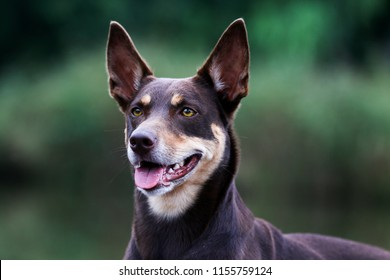 Summer portrait of smart chocolate brown and sable tan working Australian kelpie dog. Attractive smiling national Australian breed Australian sheep dog outside with yellow eyes and green background