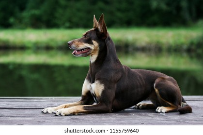 Summer portrait of smart chocolate brown and tan working Australian kelpie dog. Attractive Australian sheep dog lies on a wooden pier outside with green background