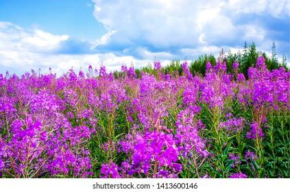 Summer purple flowers meadow scene. Purple flowers meadow in summer. Purple meadow flowers. Summer purple flowers view