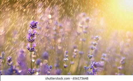Summer rain shower with purple lavender flowers - banner, greeting card idea