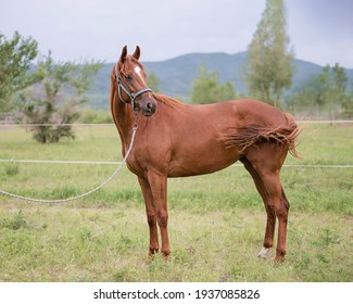In the summer a red mare in a bridle in a rein stands on the green grass