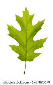 A summer red oak leaf
