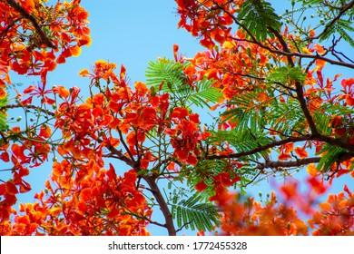 Summer red phoenix flowers in Vietnam
