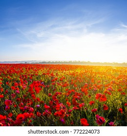 summer red poppy field at the early morning