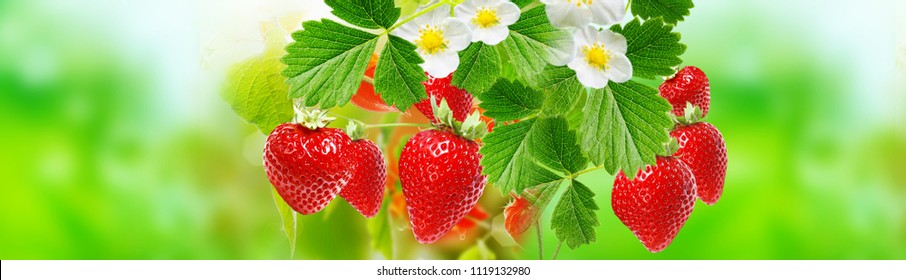 summer ripe strawberries