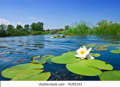 summer river with floating lily
