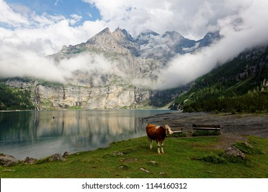 Summer scenery of picturesque Oeschinen Lake with the rocky cliff of alpine mountains reflected in the peaceful water & a cow standing on the lakeside meadow in Kandersteg Berner Oberland, Switzerland