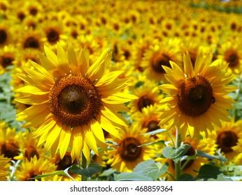Summer of scenery, sunflower