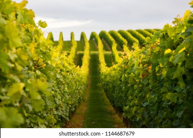 Summer scenery with wineyard rows with unsharp foreground in the evening during golden hour in Rhineland-Palatinate, Germany near the German wine street