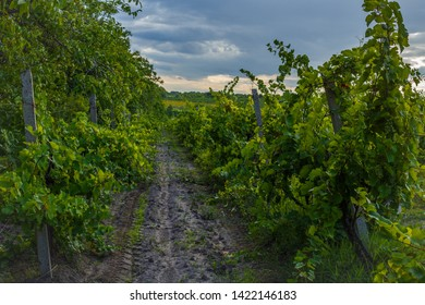Summer scenery with wineyard rows with unsharp foreground in the evening during golden hour