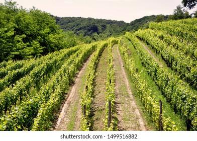 Summer scenery with wineyard rows in western wine region Goriška Brda in Slovenia