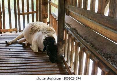 In the summer a sheep were sleeping in the stables