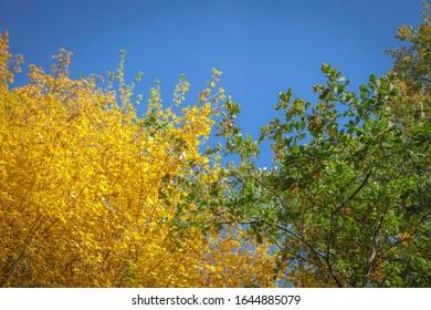 Sommer Anblick von zwei Bäumen mit gelben und grünen Blättern zentriert unter einem blauen Himmel.