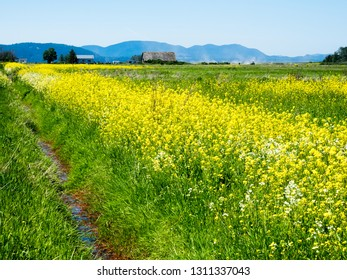 Summer in Skagit Valley, WA, with canola flowers blooming on the fields